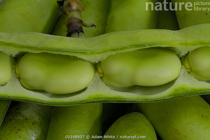 Broad Bean {Vicia faba} pod split open with beans visible, UK.  ,  DICOTYLEDONS,EUROPE,FABACEAE,LEGUME,PLANTS,UK,United Kingdom,British  ,  Adam White