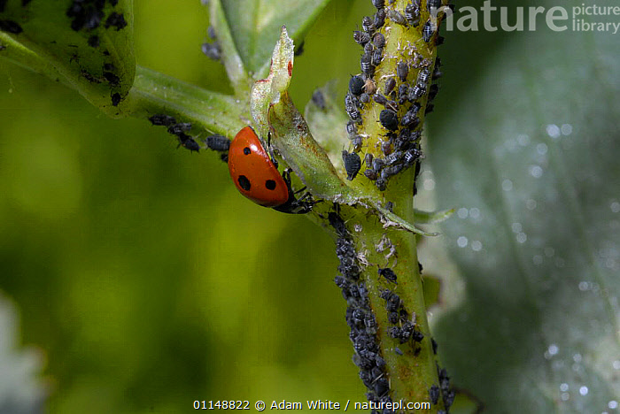 Seven spot Ladybird {Coccinella septempunctata} on Broad Bean plant with Blackfly / Black Bean Aphid {Aphis fabae} UK.  ,  APHIDS,BEETLES,COLEOPTERA,DICOTYLEDONS,EUROPE,FABACEAE,INSECTS,INVERTEBRATES,LADYBIRDS,LEGUME,PLANTS,UK,United Kingdom,British  ,  Adam White