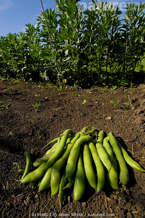 Harvested Broad Bean pods {Vicia faba} Bristol, UK.  ,  DICOTYLEDONS,EUROPE,FABACEAE,LEGUME,PLANTS,UK,VERTICAL,United Kingdom,British  ,  Adam White