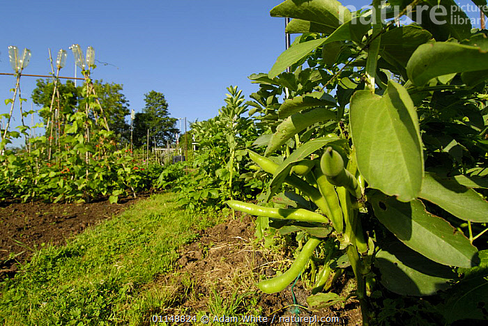 Broad Beans {Vicia faba} with ripe bean pods, growing in allotment, Bristol, UK.  ,  CROPS,DICOTYLEDONS,EUROPE,FABACEAE,LEGUME,PLANTS,UK,United Kingdom,British  ,  Adam White