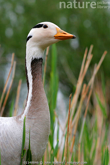 Bar headed Goose {Anser indicus} upper body head and neck profile, captive, UK.  Not available for ringtone/wallpaper use.  ,  BIRDS,EUROPE,GEESE,HEADS,PORTRAITS,UK,VERTEBRATES,VERTICAL,WATERFOWL,United Kingdom,British,Wildfowl, waterfowl,RINGTONE  ,  John Waters