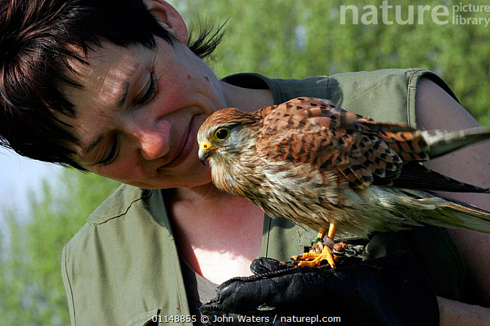 Sub-adult male Kestrel {Falco tinnunculus} perching on hand of trainer Rose Buck, UK. Captive. Model released.  ,  BIRDS,BIRDS OF PREY,CAPTIVE,EUROPE,FALCONRY,FALCONS,INTERACTION,PEOPLE,UK,VERTEBRATES,WOMAN,United Kingdom,British  ,  John Waters