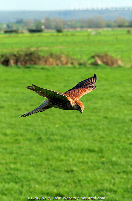 Sub-adult Kestrel {Falco tinnunculus} hovering in flight over farmland, captive, Somerset, UK.  ,  BIRDS,BIRDS OF PREY,EUROPE,FALCONS,FARMLAND,FLYING,PREDATION,UK,VERTEBRATES,VERTICAL,United Kingdom,Behaviour,British  ,  John Waters