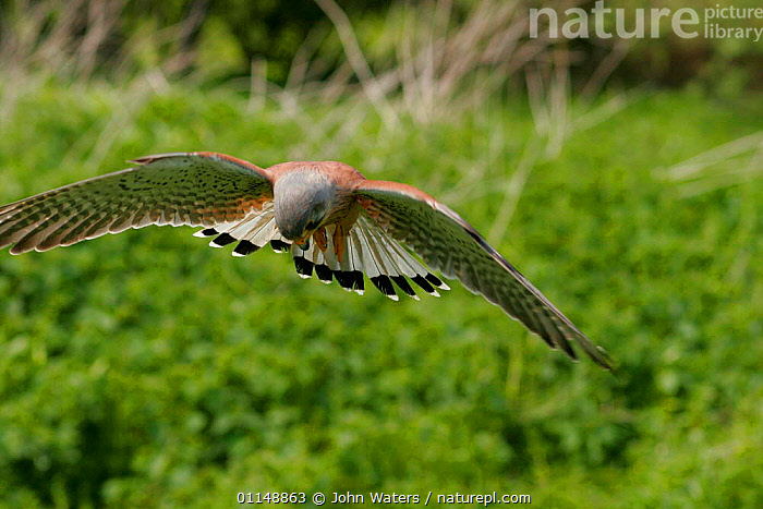 Adult male Kestrel {Falco tinnunculus} hovering in flight and looking downwards, captive, Somerset, UK.  ,  BEHAVIOUR,BIRDS,BIRDS OF PREY,EUROPE,FALCONS,FLYING,UK,VERTEBRATES,United Kingdom,British  ,  John Waters