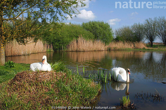 Mute Swans {Cygnus olor} nesting pair, Somerset, UK.  ,  BIRDS,EUROPE,HABITAT,LANDSCAPES,NESTS,SWANS,UK,VERTEBRATES,WATER,WATERFOWL,WETLANDS,United Kingdom,British,Wildfowl, Waterfowl  ,  John Waters