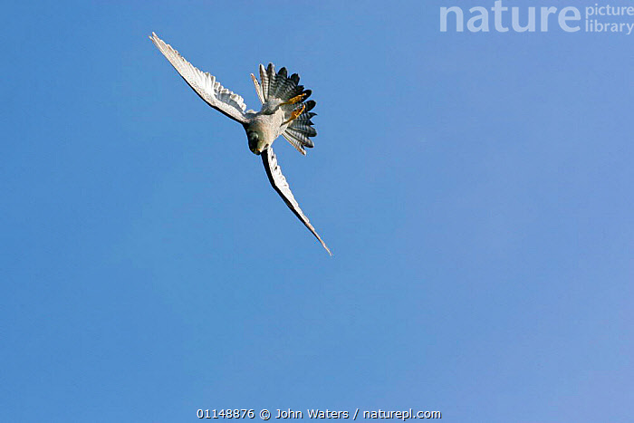 Male Peregrine Falcon {Falco peregrinus} swerving in flight, start of swoop, captive, Somerset, UK.  ,  ACTION,BIRDS,BIRDS OF PREY,FALCONS,FLYING,PREDATION,SWOOPING,VERTEBRATES,Behaviour,Catalogue1  ,  John Waters