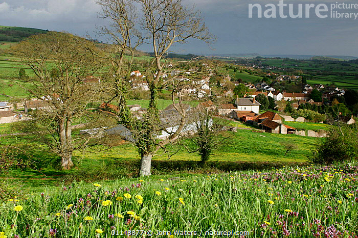 View of village near Wells, with flowers in foreground dominated by Dandelion {Taraxacum officinale} and Purple dead-nettle {Lamium purpureum} Somerset, UK.  ,  COUNTRYSIDE,EUROPE,HOUSES,LANDSCAPES,SPRING,UK,VILLAGES,United Kingdom,British,ENGLAND  ,  John Waters