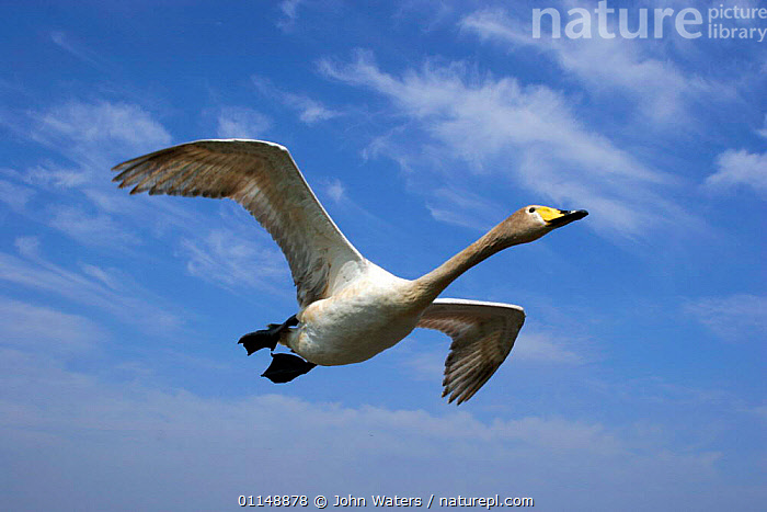 Whooper Swan {Cygnus cygnus} in flight against blue sky, captive, Somerset, UK.  ,  BEHAVIOUR,BIRDS,EUROPE,FLYING,SKY,SWANS,UK,VERTEBRATES,WATERFOWL,United Kingdom,British,Wildfowl, Waterfowl  ,  John Waters