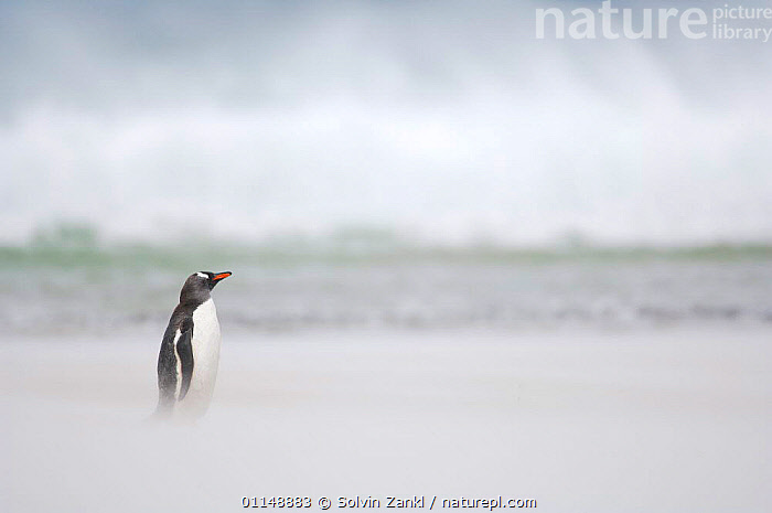Gentoo Penguin {Pygoscelis papua} on sandy beach, with ocean in background, Falkland Islands.  ,  BIRDS,FALKLAND ISLANDS,PENGUINS,PROFILE,SEABIRDS,VERTEBRATES, Seabirds,Catalogue1  ,  Solvin Zankl