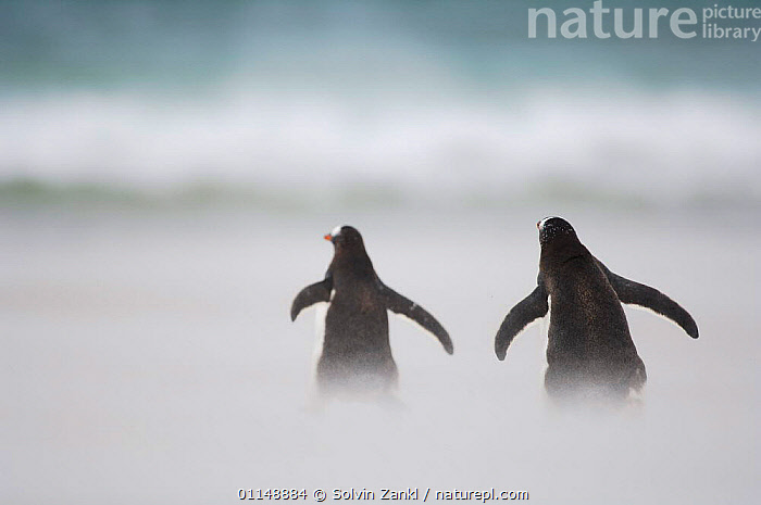 Rear view of two Gentoo Penguins {Pygoscelis papua} crossing sandy beach on stormy day, commuting from rookery to ocean, Falkland Islands.  ,  BIRDS,PENGUINS,SEABIRDS,VERTEBRATES,WINGS, Seabirds  ,  Solvin Zankl