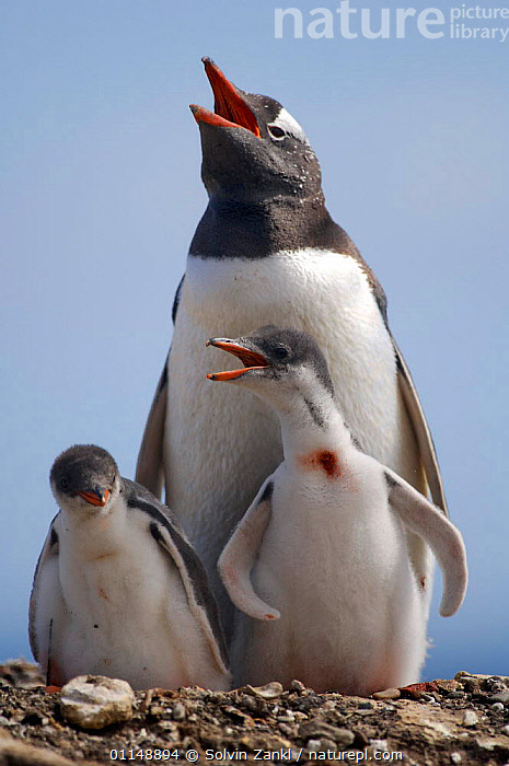 Gentoo Penguin {Pygoscelis papua} with two 2-week chicks, Falkland Islands.