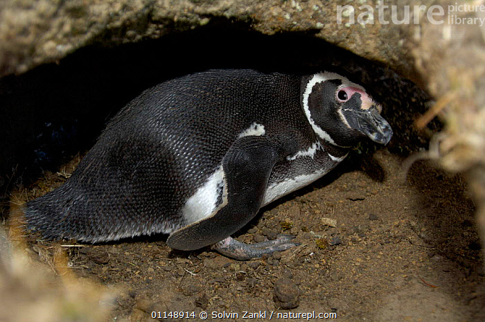Magellanic penguin {Spheniscus magellani} in excavated burrow where it breeds, Falkland Island  ,  BEHAVIOUR,BIRDS,FALKLAND ISLANDS,PENGUINS,PROFILE,SEABIRDS,UNDERGROUND,VERTEBRATES, Seabirds  ,  Solvin Zankl
