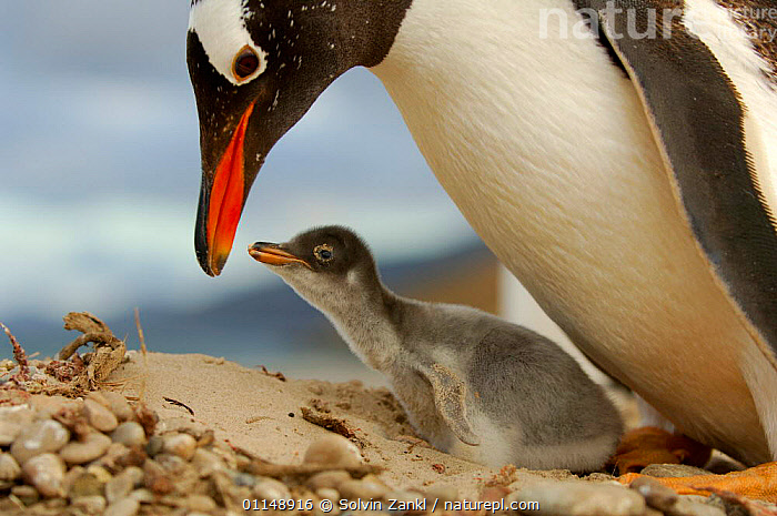 Gentoo Penguin {Pygoscelis papua} with chick, 