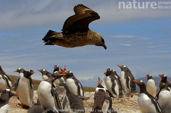 Lonnberg's Skua {Stercorarius antarcticus lonnbergi} flying low over a  Gentoo Penguin {Pygoscelis papua} rookery, Falklands islands.  ,  BEHAVIOUR, BIRDS, colony, FALKLAND-ISLANDS, INTERACTION, PENGUINS, PREDATION, PROFILE, SEABIRDS, SKUAS, VERTEBRATES  ,  Solvin Zankl