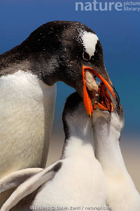 Gentoo Penguin {Pygoscelis papua} regurgitating food to 2-week chicks, Falkland Island.  ,  BEAKS,BEHAVIOUR,BIRDS,FAMILIES,FEEDING,FOOD,HEADS,INTERACTION,PARENTAL,PENGUINS,SEABIRDS,VERTEBRATES,VERTICAL, Seabirds  ,  Solvin Zankl