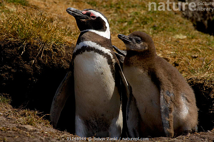 """Magellanic penguin {Spheniscus magellanicus} parent and 2-week chick, waiting outside burrow for the return of other parent, to """"change guard"""" and feed chick.  ,  BABIES,BEHAVIOUR,BIRDS,FALKLAND ISLANDS,FAMILIES,PENGUINS,SEABIRDS,TWO,VERTEBRATES, Seabirds  ,  Solvin Zankl"""