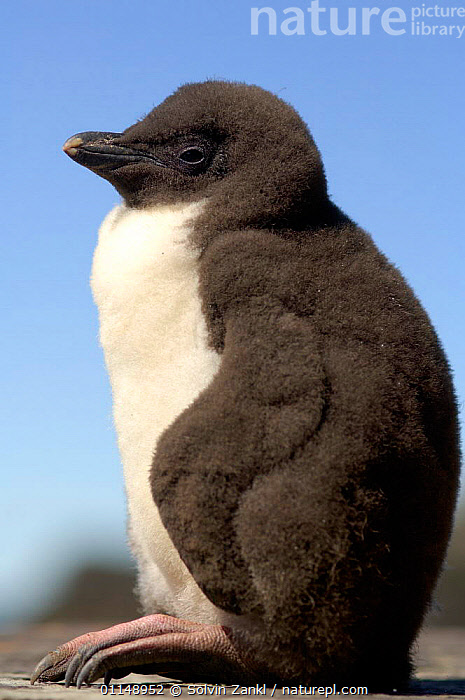 Rockhopper penguin chick {Eudyptes chrysocome} profile, Falkland Islands.  ,  BIRDS, CUTE, FALKLAND-ISLANDS, PENGUINS, PROFILE, SEABIRDS, VERTEBRATES, VERTICAL  ,  Solvin Zankl