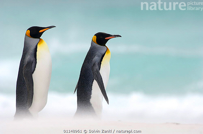 Two King penguins {Aptenodytes patagonicus} walking on beach, Falkland Islands.  ,  BIRDS,COASTS,FALKLAND ISLANDS,PENGUINS,PROFILE,SEABIRDS,VERTEBRATES,WALKING, Seabirds  ,  Solvin Zankl