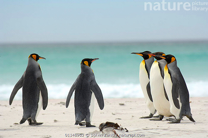 Group of five King penguins {Aptenodytes patagonicus} on beach, Falkland Islands.  ,  BEACHES,BEHAVIOUR,BIRDS,COASTS,GROUPS,INSPECTION,PARADE,PENGUINS,SEABIRDS,VERTEBRATES, Seabirds  ,  Solvin Zankl
