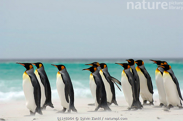 Group of King penguins {Aptenodytes patagonicus} walking on beach, Falkland Islands.  ,  BEHAVIOUR,BIRDS,COASTS,FALKLAND ISLANDS,PENGUINS,PROFILE,SEABIRDS,VERTEBRATES, Seabirds  ,  Solvin Zankl