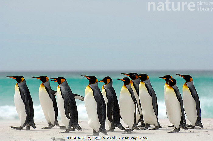 Group of King penguins {Aptenodytes patagonicus} walking on beach, Falkland Islands.  ,  BEACHES,BIRDS,COASTS,FALKLAND ISLANDS,PENGUINS,PROFILE,SEABIRDS,VERTEBRATES,WALKING, Seabirds  ,  Solvin Zankl