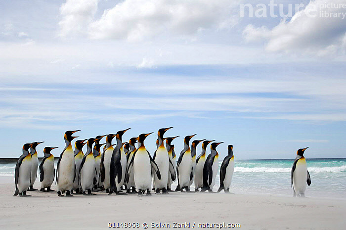 Group of King penguins {Aptenodytes patagonicus}  on beach looking out to sea, Falkland Islands.  ,  BEHAVIOUR,BIRDS,GROUPS,HEADS,LANDSCAPES,LEADER,PENGUINS,SEABIRDS,VERTEBRATES, Seabirds  ,  Solvin Zankl