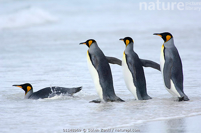 Group of King penguins {Aptenodytes patagonicus} in file, entering shallow surf, Falkland Islands.  ,  BEHAVIOUR,BIRDS,FOLLOWING,FOUR,LINE,PENGUINS,SEABIRDS,SWIMMING,VERTEBRATES, Seabirds  ,  Solvin Zankl