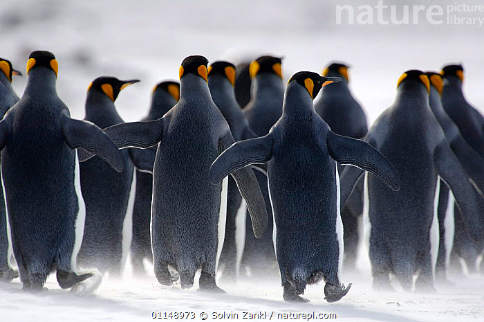 Rear view of King penguins {Aptenodytes patagonicus} walking on beach, Falkland Islands.  ,  BIRDS,FALKLAND ISLANDS,GROUPS,PENGUINS,SEABIRDS,VERTEBRATES, Seabirds  ,  Solvin Zankl