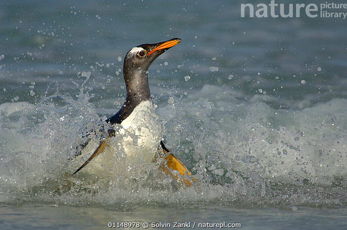 Gentoo Penguin {Pygoscelis papua} in shallow surf, switching from the horizontal swimming position to an upright walking posture, Falkland Islands.  ,  ACTION,BEACHES,BIRDS,COAST,FALKLAND ISLANDS,MOVEMENT,PENGUINS,SEABIRDS,VERTEBRATES, Seabirds  ,  Solvin Zankl