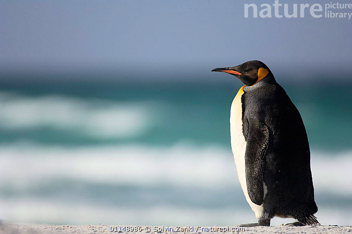 King penguin {Aptenodytes patagonicus} on beach, Falkland Islands.  ,  ANTARCTICA,BIRDS,COASTS,FALKLAND ISLANDS,PENGUINS,PORTRAITS,PROFILE,Seabirds, Seabirds  ,  Solvin Zankl