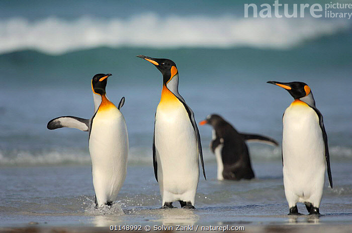 Group of King penguins {Aptenodytes patagonicus} walking through shallow surf, Falkland Islands.  ,  BEHAVIOUR,BIRDS,FALKLAND,FALKLAND ISLANDS,FALKLANDS,GROUPS,INTERACTION,PENGUINS,SEABIRDS,VERTEBRATES, Seabirds  ,  Solvin Zankl