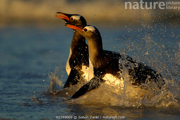 Gentoo Penguins {Pygoscelis papua} in shallow surf, switching from the horizontal swimming position to an upright walk as they come onto land, Falkland Islands.  ,  BEHAVIOUR,BIRDS,FALKLAND ISLANDS,MARINE,PENGUINS,PROFILE,SEABIRDS,SPLASH,STANDING,TWO,VERTEBRATES, Seabirds  ,  Solvin Zankl