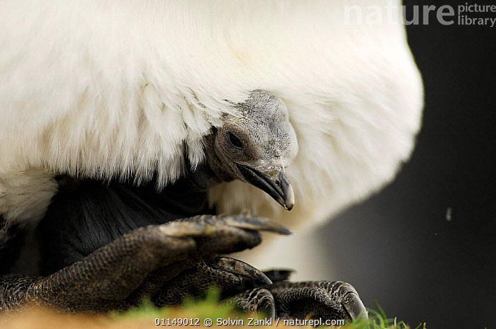 King penguin {Aptenodytes patagonicus} chick  balancing on parents feet, Falkland Islands.  ,  BABIES,BEHAVIOUR,BIRDS,CHICKS,FALKLAND ISLANDS,PENGUINS,PROTECTION,SEABIRDS,SHELTER,VERTEBRATES,WARM,WARMTH, Seabirds  ,  Solvin Zankl