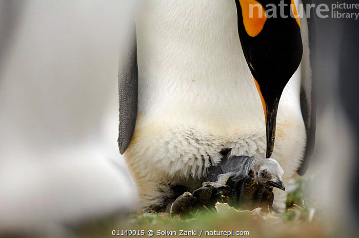 King penguin {Aptenodytes patagonicus} with chick hatching out of egg, Falkland Islands.  ,  BABIES,BEHAVIOUR,BIRDS,CHICKS,FALKLAND ISLANDS,FALKLANDS,INTERACTION,PARENTAL,PENGUINS,REPRODUCTION,SEABIRDS,VERTEBRATES, Seabirds  ,  Solvin Zankl
