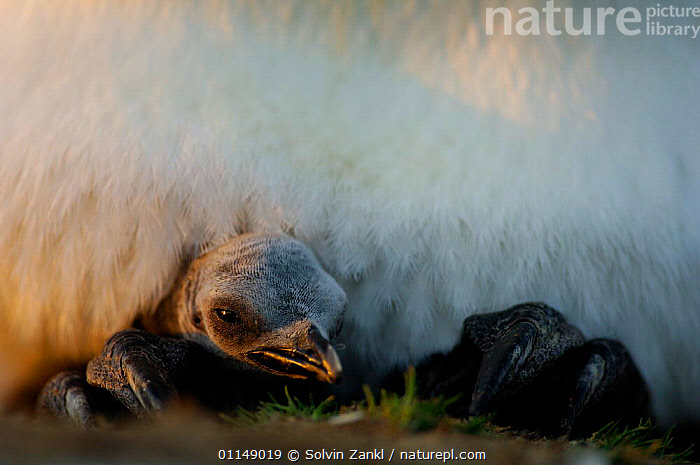 Newly hatched King penguin chick {Aptenodytes patagonicus} keeping warm, resting on parent's feet, Falkland Islands.  ,  BABIES,BIRDS,CHICKS,FALKLAND ISLANDS,FAMILIES,PENGUINS,SEABIRDS,VERTEBRATES,WARMTH, Seabirds  ,  Solvin Zankl