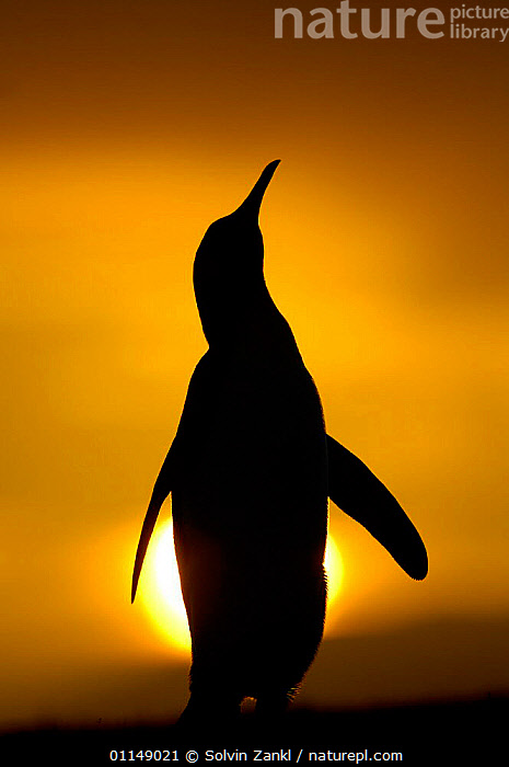 Silhouette of King penguin {Aptenodytes patagonicus} standing tall during display, at sunset, Falkland Islands.  ,  BIRDS,DAWN,DUSK,FALKLAND ISLANDS,PENGUINS,SEABIRDS,SILHOUETTES,SUNRISE,SUNSET,VERTEBRATES,VERTICAL, Seabirds  ,  Solvin Zankl