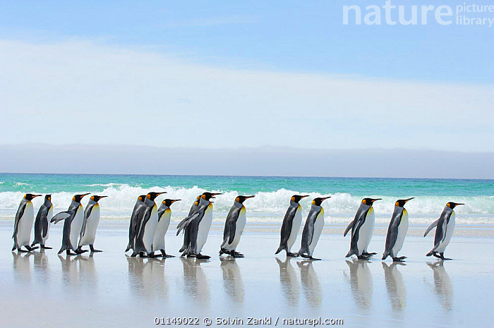 Group of king penguins {Aptenodytes patagonicus} profile walking in line along beach, Falkland Islands  ,  BEACHES,BIRDS,FALKLAND,FALKLAND ISLANDS,FALKLANDS,PENGUINS,SEABIRDS,VERTEBRATES, Seabirds  ,  Solvin Zankl