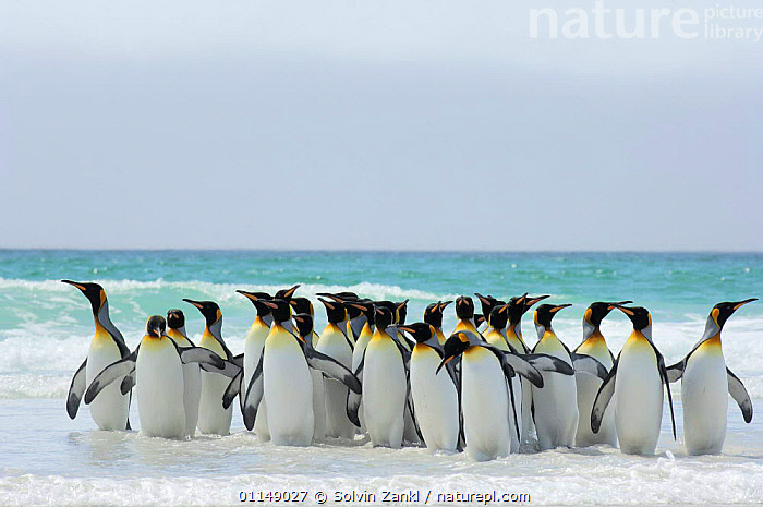 Group of King penguins {Aptenodytes patagonicus}  walking in shallow surf onto beach, Falkland Islands.  ,  BEHAVIOUR,BIRDS,COASTS,FALKLAND ISLANDS,FALKLANDS,GROUPS,PENGUINS,SEA,SEABIRDS,VERTEBRATES, Seabirds  ,  Solvin Zankl