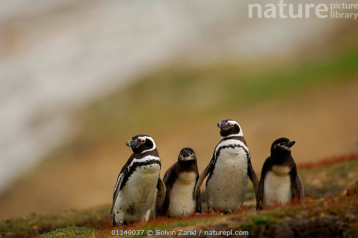 Magellanic penguin {Spheniscus magellanicus / magellani} adults with chicks, Falkland Islands.  ,  BIRDS,FALKLAND ISLANDS,FAMILIES,FOUR,GROUPS,PENGUINS,SEABIRDS,VERTEBRATES, Seabirds  ,  Solvin Zankl