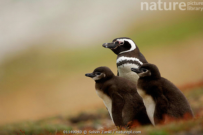 Magellanic penguin {Spheniscus magellanicus / magellani} adult with chicks, Falkland Islands.  ,  BABIES,BIRDS,FALKLAND ISLANDS,FAMILIES,PENGUINS,SEABIRDS,THREE,VERTEBRATES, Seabirds  ,  Solvin Zankl