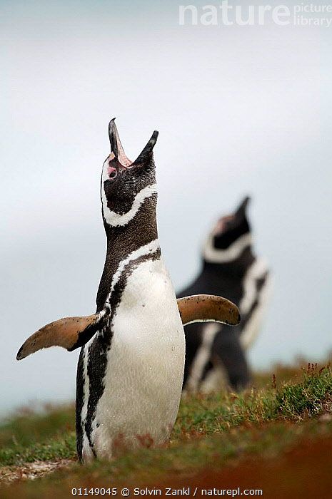 Magellanic penguin {Spheniscus magellanicus / magellani} calling in breeding colony, Falkland Islands.  ,  BEHAVIOUR,BIRDS,FALKLAND ISLANDS,PENGUINS,SEABIRDS,VERTEBRATES,VERTICAL,VOCALISATION, Seabirds  ,  Solvin Zankl