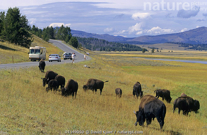 Tourists watching Bison {Bison bison} grazing beside road, Yellowstone National Park, Wyoming, USA  ,  ARTIODACTYLA,BOVIDS,BUFFALOS,GROUPS,LANDSCAPES,MAMMALS,NORTH AMERICA,NP,PEOPLE,RESERVE,TOURISM,USA,VERTEBRATES,National Park,Cattle  ,  David Kjaer