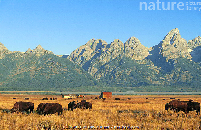 Bison grazing {Bison bison} Grand Teton NP, Wyoming, USA  ,  ARTIODACTYLA,BOVIDS,BUFFALOS,GROUPS,LANDSCAPES,MAMMALS,NORTH AMERICA,NP,RESERVE,USA,VERTEBRATES,National Park,Cattle ,Rocky Mountains,  ,  David Kjaer