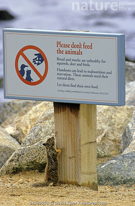 California ground squirrel {Spermophilus beecheyi} looking at sign 'Do not feed the animals' California,  USA  ,  AMUSING,FEEDING,FUNNY,GROUND SQUIRRELS,HUMOROUS,JOKE,MAMMALS,NORTH AMERICA,RESERVE,RODENTS,SIGNS,USA,VERTEBRATES,VERTICAL,Concepts  ,  David Kjaer