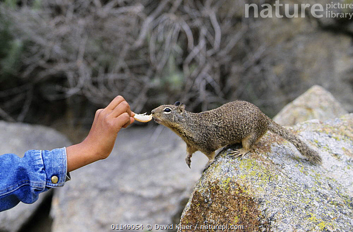 California ground squirrel {Spermophilus beecheyi} being hand fed, California, USA  ,  BEHAVIOUR,FEEDING,GROUND SQUIRRELS,HAND FEEDING,MAMMALS,NORTH AMERICA,RESERVE,RODENTS,TAME,TOURISM,USA,VERTEBRATES  ,  David Kjaer