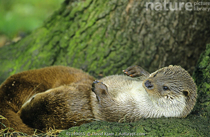 European river otter {Lutra lutra} lying on back, captive, Norfolk, UK  ,  CARNIVORES,CUTE,ENGLAND,EUROPE,MAMMALS,MUSTELIDS,OTTERS,PORTRAITS,RELAXING,RESTING,UK,VERTEBRATES,United Kingdom,British  ,  David Kjaer