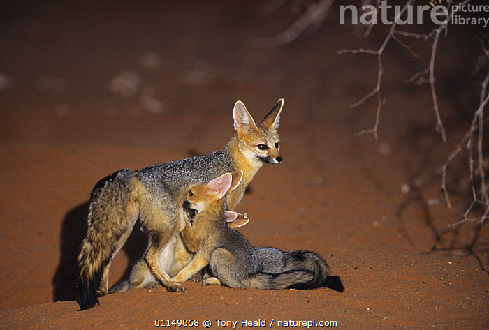 Cape fox {Vulpes chama} mothedr suckling cubs, Kalahari Gemsbok NP, South Africa  ,  BABIES,CANIDS,CARNIVORES,FAMILIES,FEEDING,FOXES,MAMMALS,NIGHT,PARENTAL BEHAVIOUR,RESERVE,SOUTHERN AFRICA,VERTEBRATES,Dogs ,Kgalagadi,Transfrontier  ,  Tony Heald