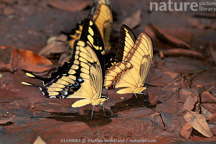 Rainforest butterflies {Papilio sp} feeding on minerals from mud, Brazil, South America  ,  ARTHROPODS,BEHAVIOUR,BUTTERFLIES,GROUPS,INSECTS,INVERTEBRATES,LEPIDOPTERA,PORTRAITS,PROFILE,south america,tropical rainforest  ,  Staffan Widstrand