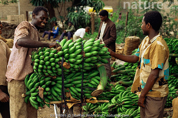 Matoke / Plantains (food bananas) transported by bicycle to market, Lake Manyara, Tanzania, East Africa  ,  AFRICA,Banana,CROPS,EAST AFRICA,EDIBLE,FRUIT,markets,PEOPLE,TRADE,Plants,EAST-AFRICA  ,  Staffan Widstrand