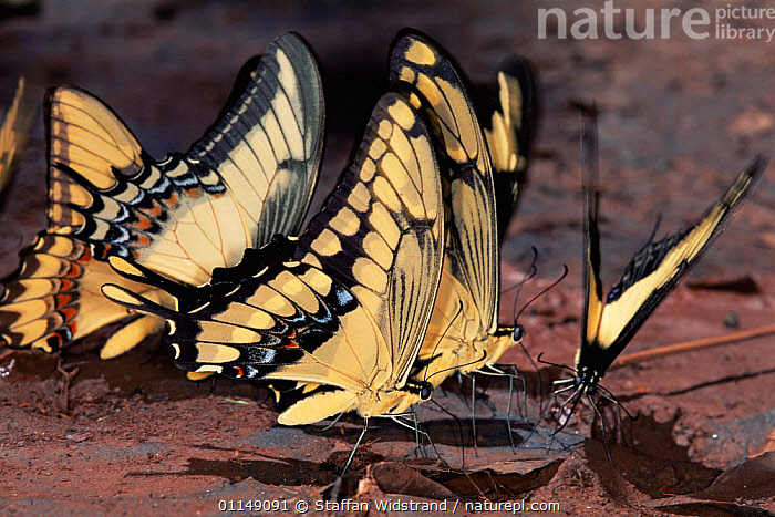 Butterflies {Papilio sp} feeding on minerals from mud, Brazil, South America  ,  ARTHROPODS,BEHAVIOUR,BUTTERFLIES,GROUPS,INSECTS,INVERTEBRATES,LEPIDOPTERA,south america,tropical rainforest  ,  Staffan Widstrand